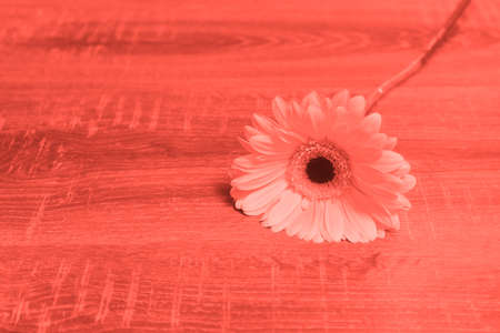 Gerbera daisy flower on wooden background. Holiday concept. Living coral - color of the year 2019