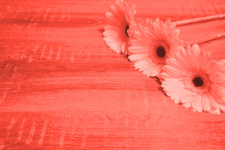 Gerbera daisy flowers on wooden background. Holiday concept. Living coral - color of the year 2019 Stock Photo