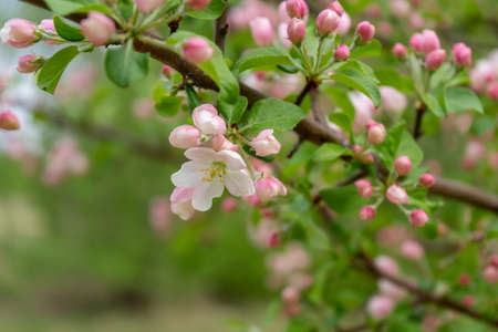 Branch of blossoming wild apple tree against spring forest in cloudy day. Beautiful natural background. Selective focus