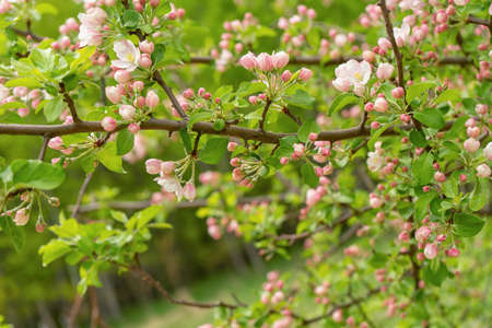 Branches of blossoming wild apple tree against spring forest in cloudy day. Beautiful natural background. Selective focus