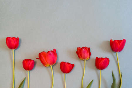 Bright red tulips on pastel paper background. Beautiful spring floral mock up. Greeting card for womens or mothers day. Flat lay, top view, copy space