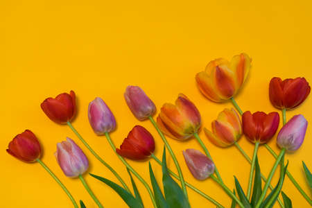 Multi colored tulips on bright yellow background. Beautiful spring floral mock up. Greeting card for womens or mothers day. Flat lay, top view, copy space Stock Photo