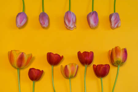 Rows of multi colored tulips on bright yellow background. Beautiful spring floral mock up. Greeting card for womens or mothers day. Flat lay, top view, copy space