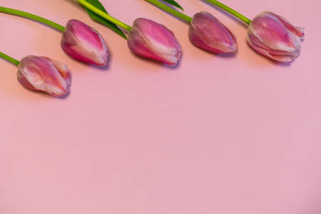 Pink fresh tulips on pastel paper background. Beautiful spring floral mock up. Greeting card for valentines, womens or mothers day. Flat lay, top view, copy space Stock Photo