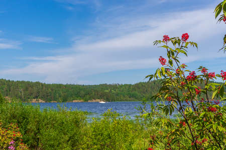 Summer landscape with wetland shore of pond in sunny day. Elder bush with red berries against lake bay and blue sky. Beautiful natural background. Ladoga lake, Karelia, Russia. Stock Photo