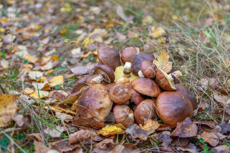 Butter mushrooms gathered by mushroomers lying on ground in autumn forest among leaves and grass. Suillus luteus or Slippery Jack edible mushrooms heap at forest edge.
