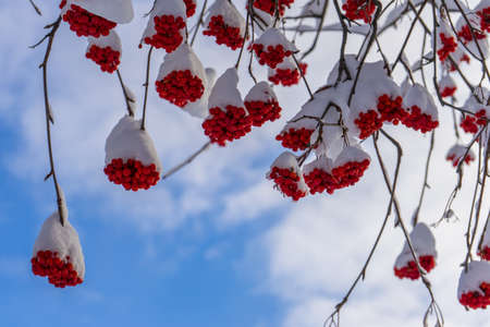 Ashberry bunches covered with snow in winter sunny day. Rowan tree with red berries in park or forest. Beautiful background, winter season concept. Wonderful nature, amazing view. Selective focus.