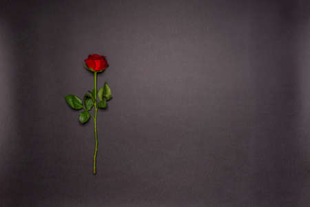 Single fresh red rose flower on black background. Love, romance or Valentine's day concept. Greeting card with space for text. Flat lay, top view. 版權商用圖片