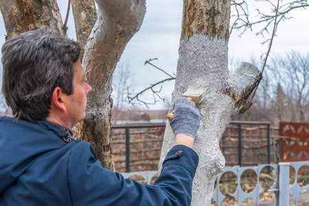 Whitewashing of fruit trees in spring garden. Human hands in gloves holding brush and whitewash bucket close-up. Man gardener whitening trunk of apple tree. Spring work in garden, gardening concept.