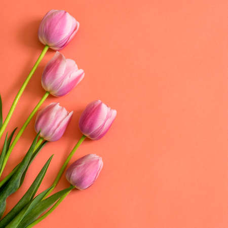 Colorful pink tulips on bright peachy paper background. Beautiful spring floral mock up for greeting card. Flat lay, top view, copy space
