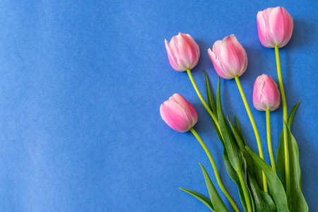 Colorful pink tulips on bright blue paper background. Beautiful spring floral mock up for greeting card. Flat lay, top view, copy space Stock fotó