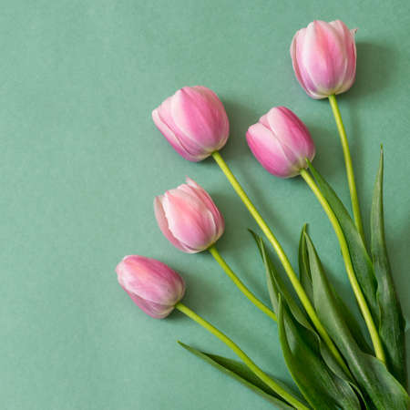 Colorful pink tulips on green paper background. Beautiful spring floral mock up for greeting card. Flat lay, top view, copy space