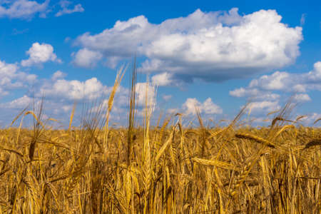 Beautiful summer landscape with ripe rye field in sunny day. Golden ears against blue sky. Agricultural background. Selective focus.