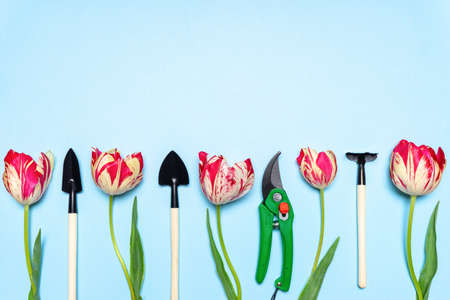 Fresh tulips flowers, garden tools and pruning shears on blue pastel background. Creative composition, springtime. Gardening, spring work concept. Flat lay, top view, copy space. Standard-Bild