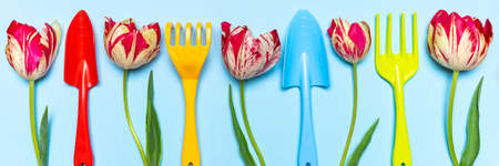 Fresh tulips flowers and multi-colored garden tools on blue pastel background. Creative composition, springtime. Gardening, spring work concept. Flat lay, top view, banner.