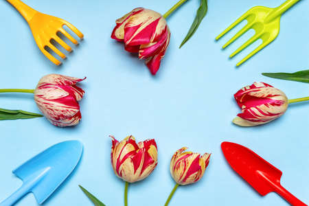 Fresh tulips flowers and multi-colored garden tools on blue pastel background. Creative composition, springtime. Gardening, spring work concept. Flat lay, top view, copy space.