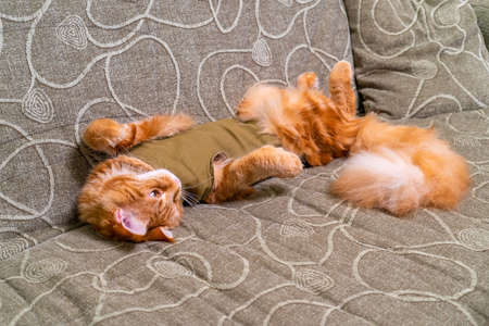 Young red cat of Maine Coon breed in post-operative bandage lying on sofa with its belly up. Recovery period after surgery. Castration and sterilization of pets. Spay day concept.