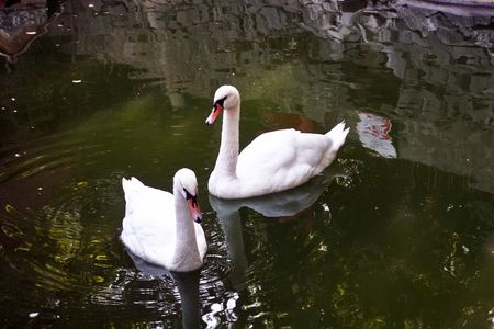 Two white swans float in a pond photo