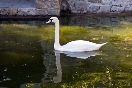White swan floating in a pond photo