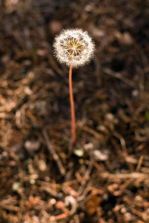 The white dandelion grows in a green grass Stock Photo - 6007834