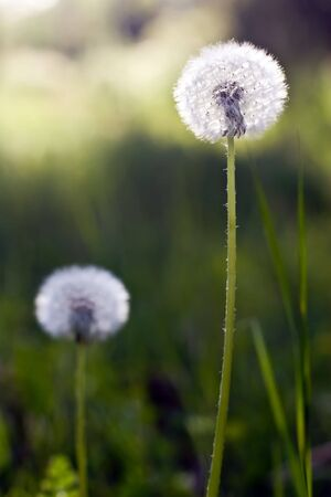 Two white dandelions grow in a green grass Stock Photo - 6007827