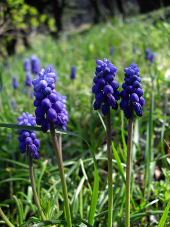 Grape Hyacinth - First daffodil flowers in the wood  photo