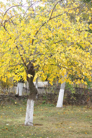 Autumn time; bright yellow leaves on the tree branch  photo