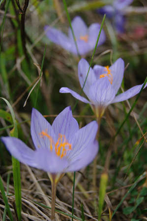 Autumn flowers - Colchicum autumnale, commonly known as autumn crocus, meadow saffron or naked lady