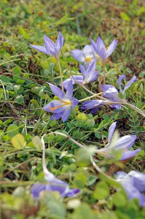 colchicum autumnale: Autumn flowers - Colchicum autumnale, commonly known as autumn crocus, meadow saffron  Stock Photo