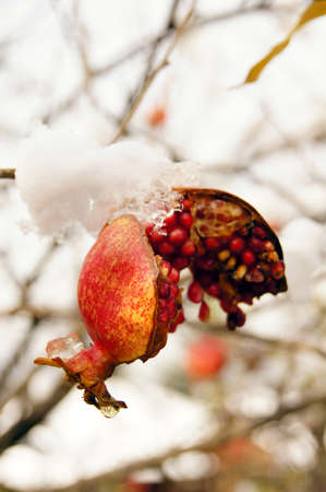 Ripe colorful pomegranate fruit on tree branch under snow in the garden                  photo