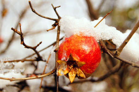 Ripe colorful pomegranate fruit on tree branch under snow in the garden Stock Photo - 11699102