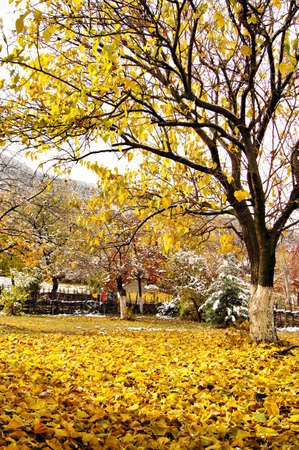 Autumn time: colorful leaves of the tree covered with snow  photo