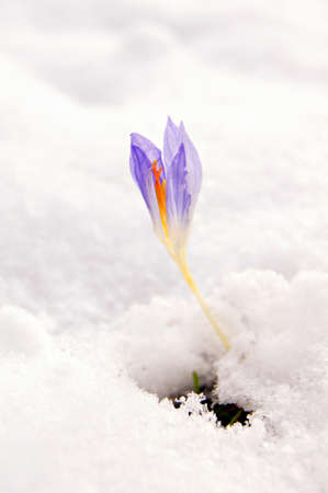 Blue crocus flowers under the first snow  Stock Photo