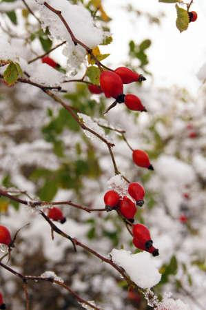 guelderrose: Red guelder-rose under snow