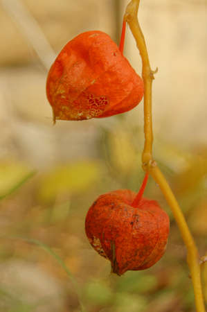phisalis: Autumn time: bright phisalis fruit in the wood
