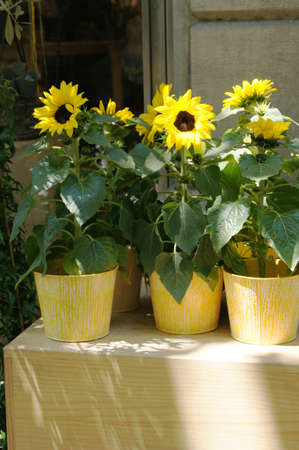 Closeup of sunflowers in the pots in shade                 Stock Photo