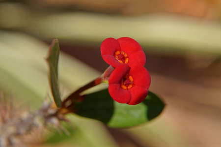 Close up of flower of Christ plant Stock Photo - 12820399