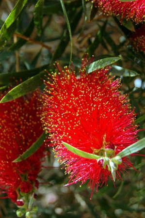 callistemon citrinus: Close up of red bottlebrush flower in bloom               Stock Photo