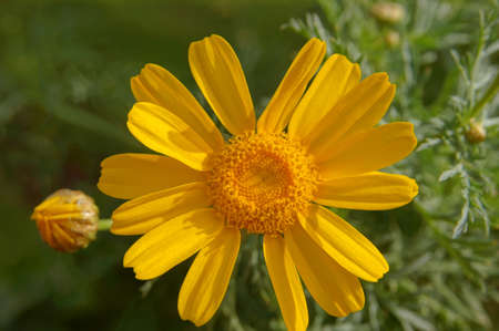 Close up of yellow daisy flower in the garden        photo