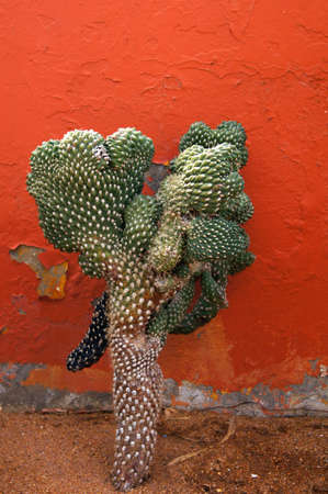 Close up of cactus upto red wall       photo