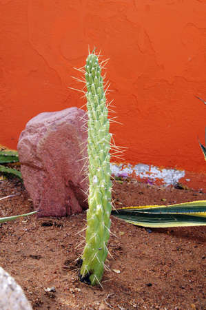 Close up of cactus in the garden close to the red wall        photo