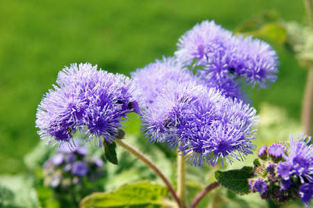 Close up of ageratum flower in sunny day