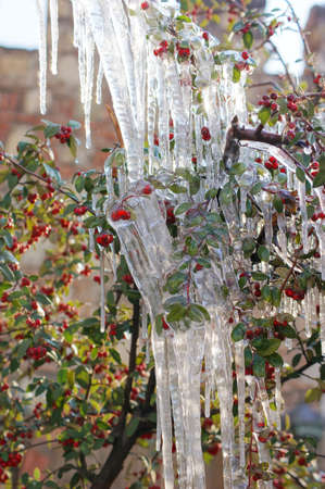 bunchy: Red guelder-rose under snow and ice
