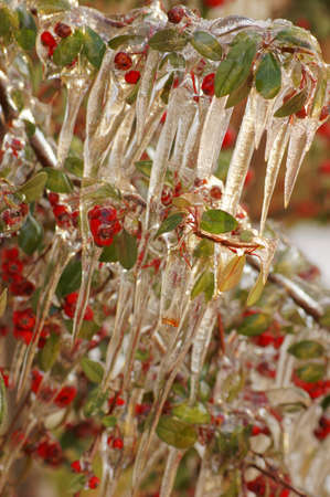 guelder rose berry: Red guelder-rose under snow and ice