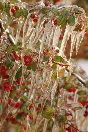 bunchy: Red guelder-se levant� bajo la nieve y el hielo Foto de archivo