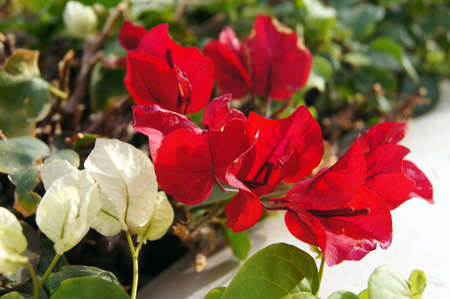 Close up of Bougainvillea plant flowers