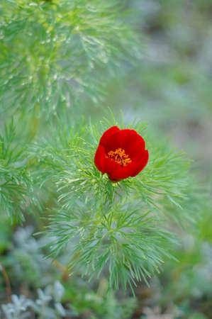La primavera roja flor de amapola en el jardín