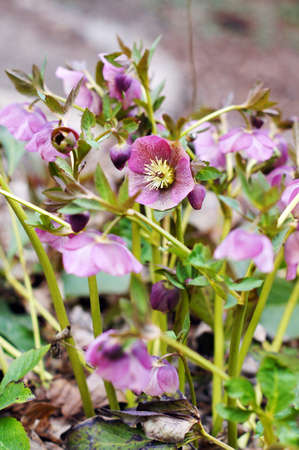Close up of rare Helleborus flower Imagens