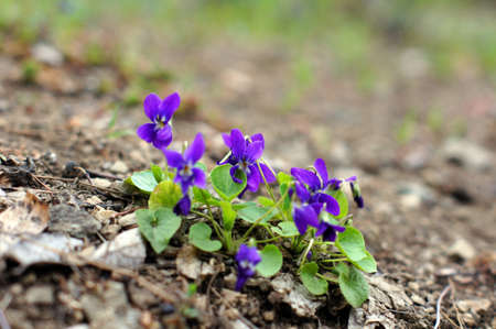 Spring time: first tricolor violas in the garden Stock Photo