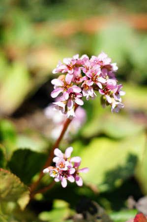 corydalis: Corydalis the first spring flower Stock Photo